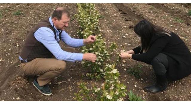 Kırklareli'nde aronia üretimi artıyor