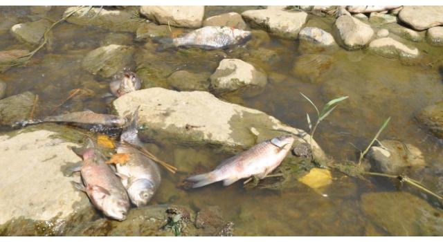 Malkara Çınarlıdere Deresi'nde balık ölümleri