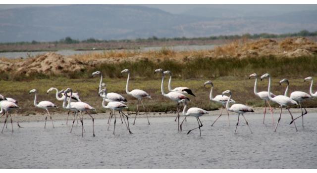 Edirne'deki Gala ve Dalyan göllerinde flamingolar görsel şölen sunuyor