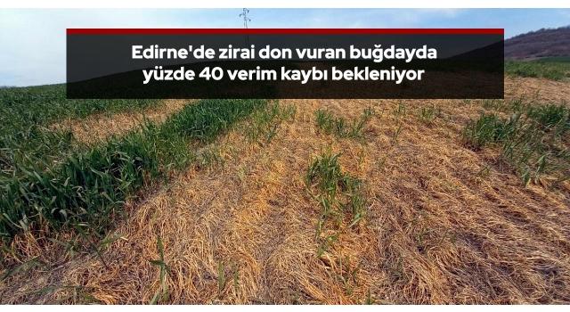 Edirne'de zirai don vuran buğdayda yüzde 40 verim kaybı bekleniyor