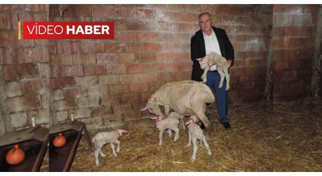 Malkara'da Merinos Cinsi Koyun Tek Seferde 5 Kuzu Doğurdu