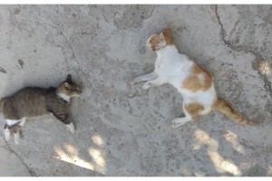 İpsala'da 12 kedi ve 3 köpek zehirli etle öldürüldü