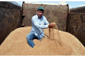 Malkara'da sezonun ilk buğdayı 2,03 liradan satıldı