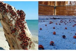 Saros Körfezi kıyıları, uğur böceklerinin istilasına uğradı