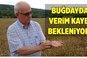 Trakya'da buğdayda verim kaybı bekleniyor