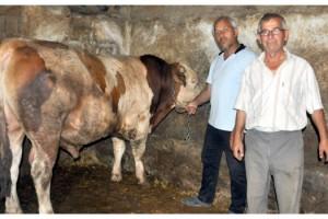 Malkara'da 1 ton 100 kiloluk 'Tosun' adlı dana 24 bin liraya satıldı