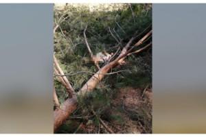 Kestiği ağacın üzerine devrilmesiyle öldü
