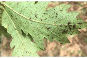 Istranca Ormanları'nı dantel böcekleri sardı