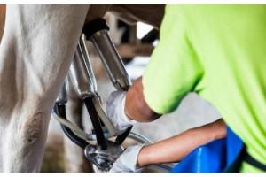 Çiğ süt desteği ödemeleri bugün yapılacak