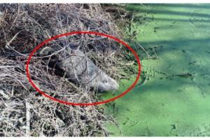 Bulgaristan'daki taşkın Edirne'ye su maymunlarını getirdi