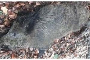 Kırklareli'ndeki yaban domuzu ölümleri araştırılıyor