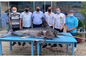 Saros Körfezi'nde yakalanan dev kılıç balığı ilgi gördü