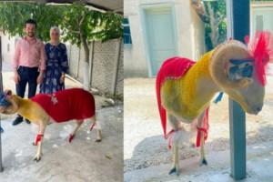 Lüleburgaz'da 'gelin koçu' geleneği sürüyor